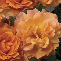 Narancssárga  bokor rózsa - 'Gypsy Dancer'