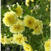 Halvány sárga történelmi bokor rózsa - 'Harisonii'