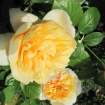 Sárga, romantikus rózsa - 'Jayne Austin'