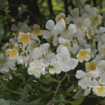 Fehér futórózsa - 'Kiftsgate'