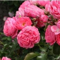 Rózsaszín romantikus rózsa 'Leonardo da Vinci'