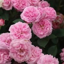 Rózsaszín történelmi bourbon rózsa - 'Louise Odier'