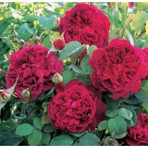 Karmazsin színű, romantikus rózsa - 'Macbeth'