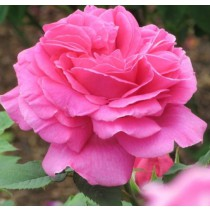 Élénk rózsaszín történelmi rózsa - 'Madame Isaac Pereire'