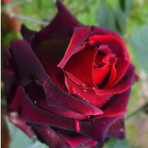 Vörös tearózsa - 'Magia Nera'