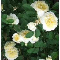 Halványsárga romantikus rózsa - 'The Pilgrim'