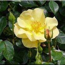 Sárga talajtakaró rózsa  - 'Pimprenelle'