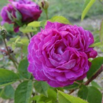 Mélylila történelmi rózsa - 'Reine des Violettes'