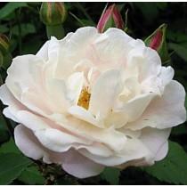 Fehér történelmi futórózsa - 'Venusta Pendula'