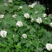 Tölgylevelű hortenzia 'Amethyst' extra nagy méret
