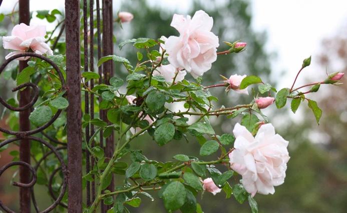 mesés virágözön romantikus rózsákkal