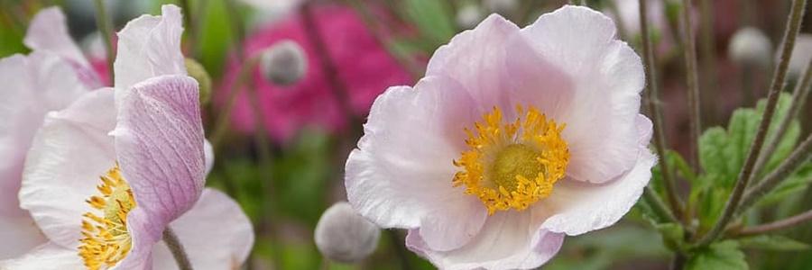 virágos évelők