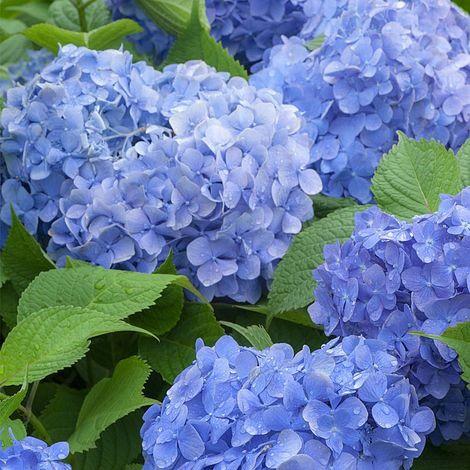 Kerti hortenzia 'Blue Power' nagy méret