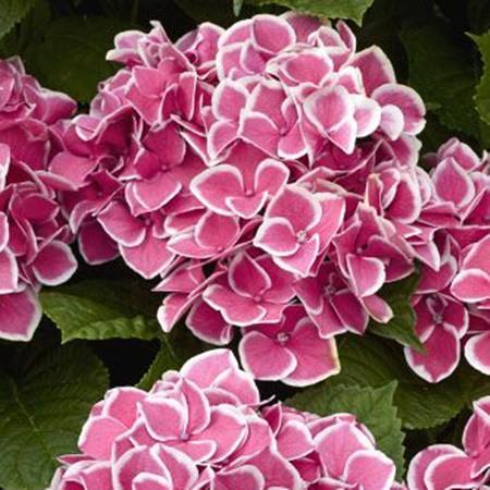 Kerti hortenzia 'Candy Pink'