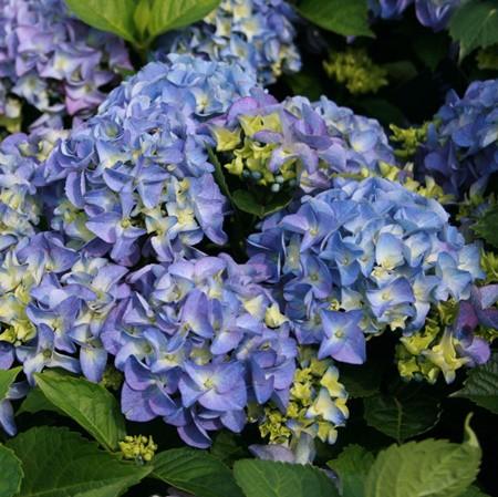 Kerti hortenzia 'Early Blue'