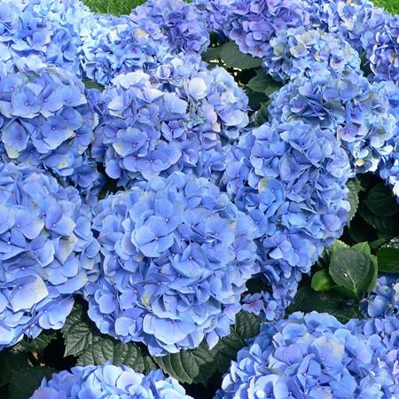 Kerti hortenzia 'Little Blue'