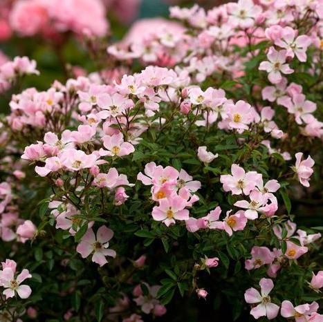 Rózsaszín talajtakaró rózsa 'Nozomi'