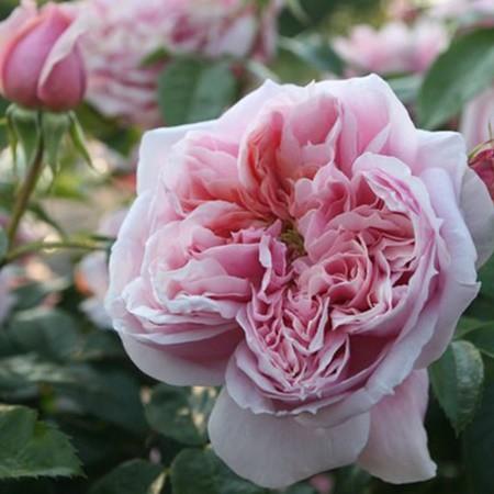 Rózsaszín romantikus rózsa - 'Schöne Maid'