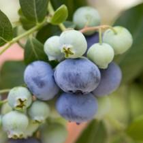 Kék áfonya 'Bluecrop'