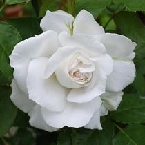 Fehér tearózsa 'Annapurna'
