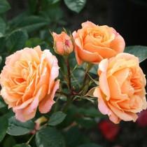 Barackszínű törperózsa - 'Apricot Clementine'