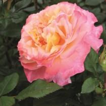 Sárgaszínű romantikus rózsa - 'Agusta Luise'
