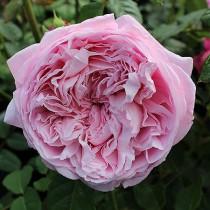 Világos rózsaszín romantikus rózsa 'Ausbite'