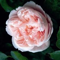 Rózsaszín romantikus rózsa 'Ausclub'