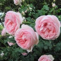 Rózsaszín romantikus rózsa 'Ausreef'