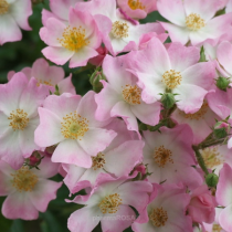 Rózsaszín bokor rózsa 'Ballerina'