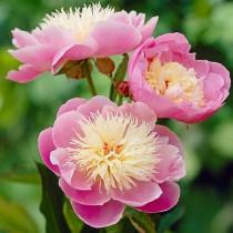 Illatos bazsarózsa sárga-rózsaszín 'Bowl of Beauty'
