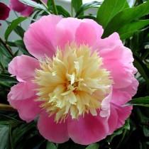 Illatos bazsarózsa 'Gay Paree' rózsaszín-fehér