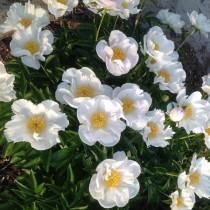 Illatos bazsarózsa fehér 'Krinkled White'