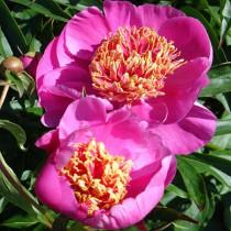 Illatos bazsarózsa élénk rózsaszín 'Neon'