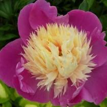 Illatos bazsarózsa rózsaszín 'Nymphe'