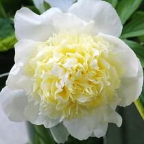 Illatos bazsarózsa fehér-sárga középpel 'Primavera'