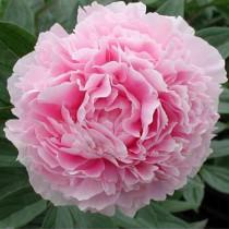 Illatos bazsarózsa rózsaszín 'Sarah Bernhardt'