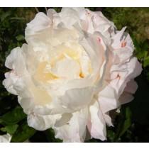 Illatos bazsarózsa rózsaszín-fehér 'Shirley Temple'