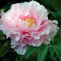 Fás bazsarózsa 'Dupla pasztell rózsaszín'