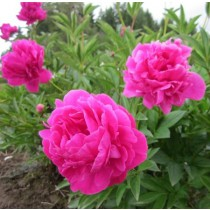 Illatos bazsarózsa rózsaszín 'Bouquet Perfect'
