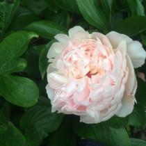 Illatos bazsarózsa fehér-rózsaszín 'Pecher'