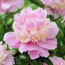 Illatos bazsarózsa élénk rózsaszín 'Sorbet'