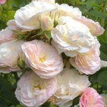 Halvány rózsaszín bokor rózsa 'Bouquet Parfait'