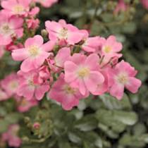 Rózsaszín talajtakaró rózsa 'Budai Lina'
