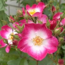 Cseresznyepiros bokor rózsa  'Bukavu'