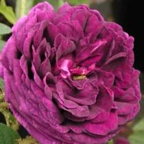 Lila történelmi rózsa 'Capitain John Ingram'