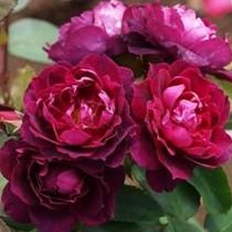 Lilás piros bokor rózsa 'Cardinal Hume'