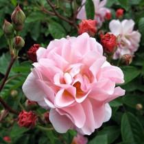 Rózsaszín bokor rózsa 'Cornelia'
