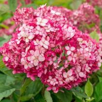 Cserjés hortenzia rózsaszín 'Strewberry Annabelle'