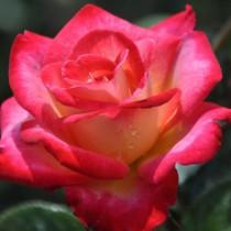 Krémszín-vörös szegéllyel ágyásrózsa 'Dick Clark'